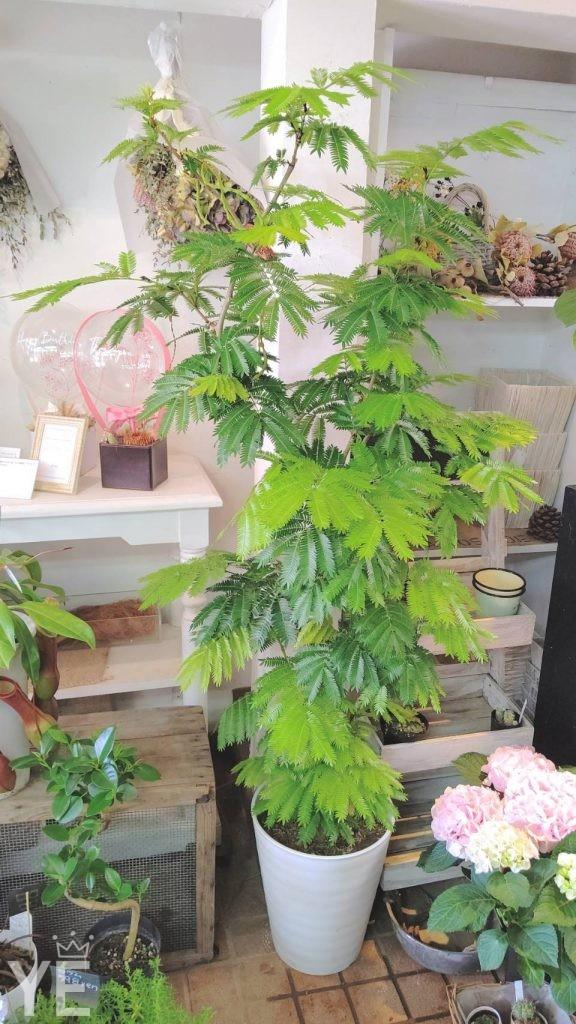 観葉植物 エバーフレッシュ