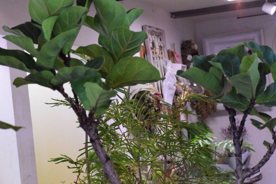 観葉植物 バンビーノ